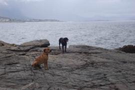 dog tax : dogs in Hermanus