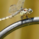 Mosquito Eating Dragonflies