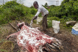 A man sprinkles salt on donkey hides to dry them at an abattoir in Nigeria's Delta state.