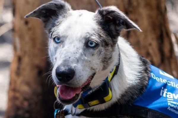 Meet Bear, the dog who finds koalas injured in Australian bushfires