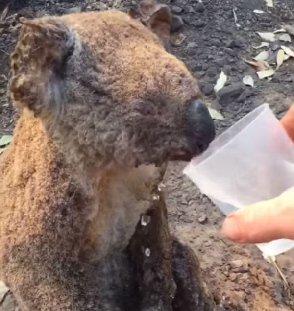A man lends a much needed drink to an exhausted koala in NSW last week.