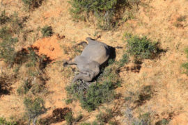 Over 350 elephants have mysteriously died