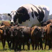 Giant' Cow