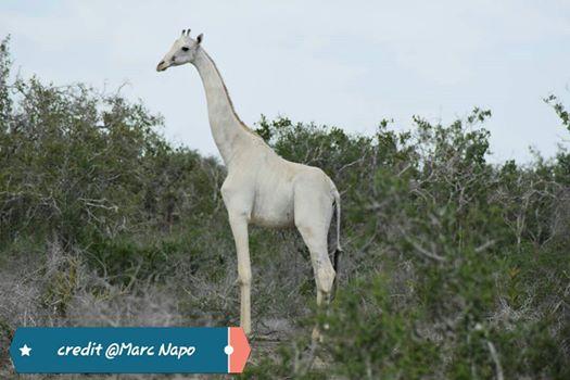 Poachers Kill World's Only White Female Giraffe  - Ishaqbini-Hirola Community Conservancy