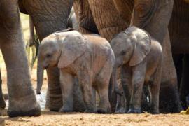 Rare twin elephants