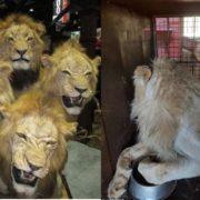 54 lions