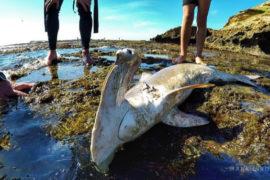 Lockdown has not stopped slaughter of endangered sharks