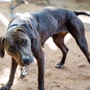 dog fighting now punishable by prison sentence