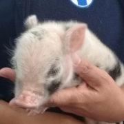 piglet finds home SPCA farmyard