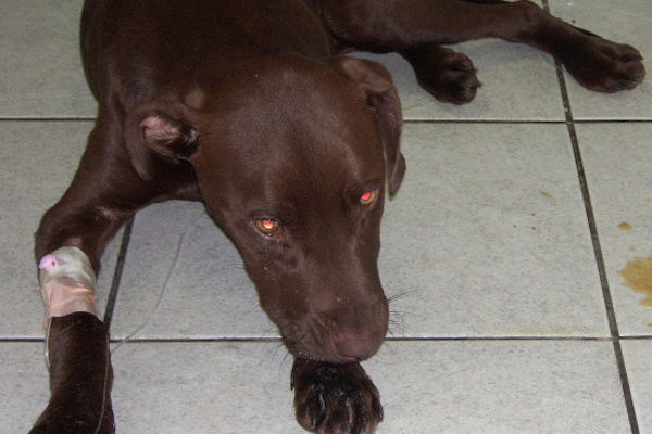 deadly dog virus hits crisis level cape town