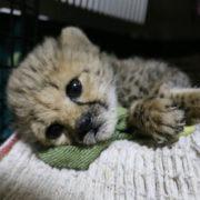 Somalia's cheetah smuggling ring
