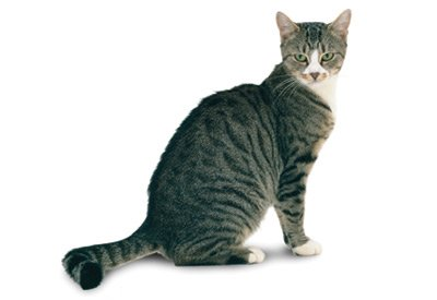 Cat Breed Of The Month American Shorthair Infurmation