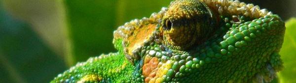 Spot Cape Town's chameleons