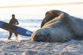Elephant seal surprises Cape Town beach-goers