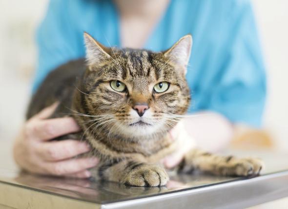 Coccidiosis in Cats
