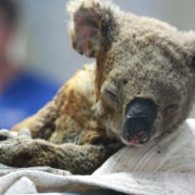 An injured koala receives treatment