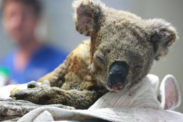 An injured koala receives treatment