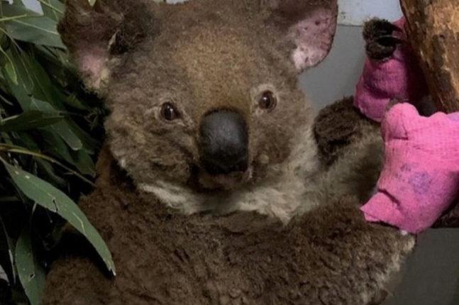 Koala rescued from the recent Australian bushfires