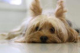 Acute Hemorrhagic Diarrhea - Picture of a Yorkshire Terrier