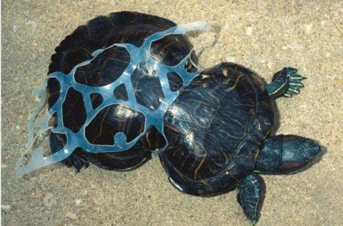 sea turtle entrapped in plastic