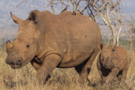 South Africa: white rhino with its calf