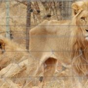 Nedbank refuses canned hunting