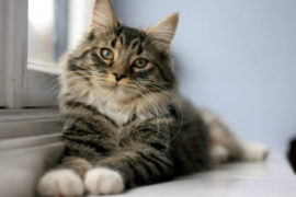Chylothorax in Cats