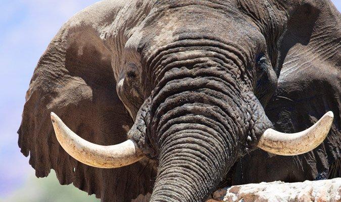 Iconic desert-adapted elephant