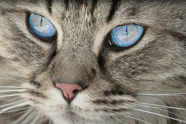 Eosinophilic Keratitis in Cats