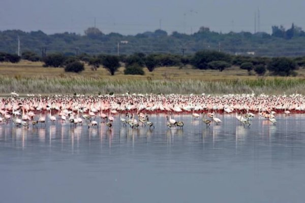 Rescued Flamingoes