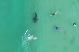 Surfers and kayakers' close encounter with Great White Shark