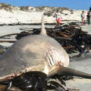 Dead sharks litter the shores of Gansbaai