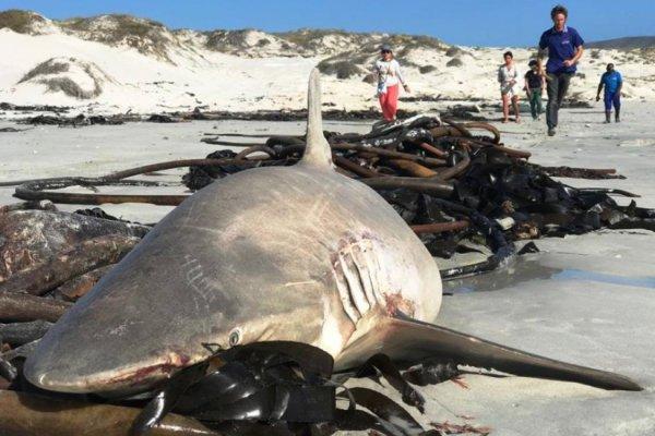 Dead sharks litter the shores of Gansbaai