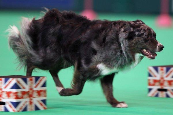 'Smartest' Dog Breeds, According to a Canine Psychologist