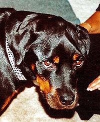 Masticatory Myositis Rottweiler with masticatory myositis