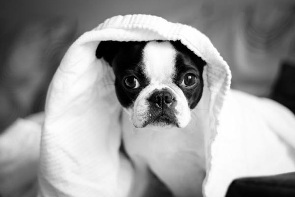 Rhinoscopy - Boston Terrier