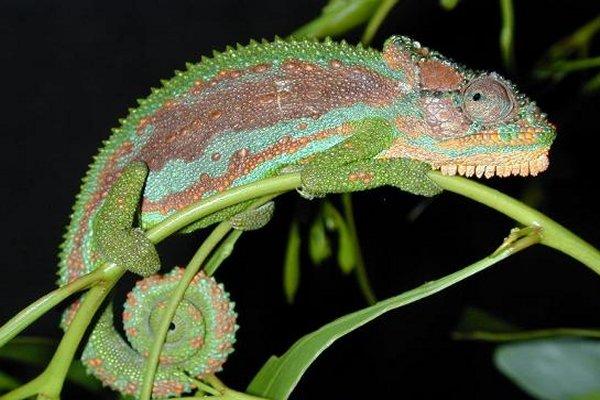Creating Chameleon
