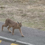Caracal spotted strolling the streets of Simon's Town