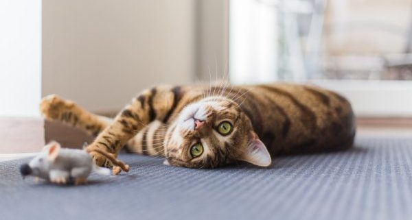 The importance of cat's play