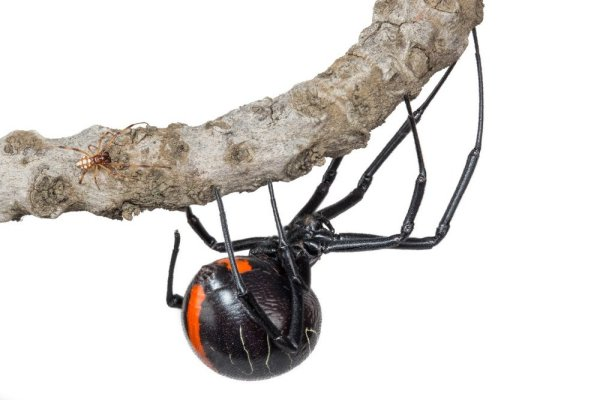A NEW SPECIES OF BUTTON SPIDER FOUND IN KWAZULU-NATAL, SOUTH AFRICA