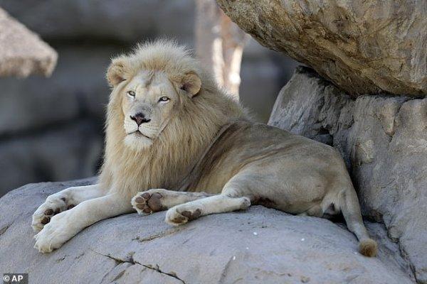 Shocking footage shows dead lion