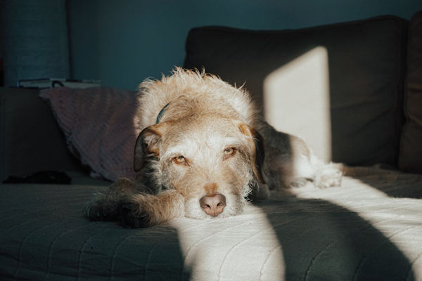 Diabetes in dogs - image