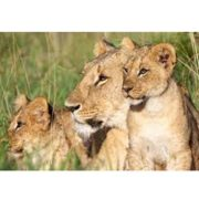 Lions arrive in SA