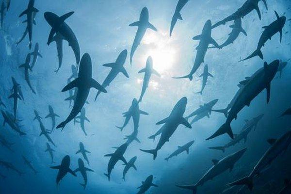 sharks face slaughter