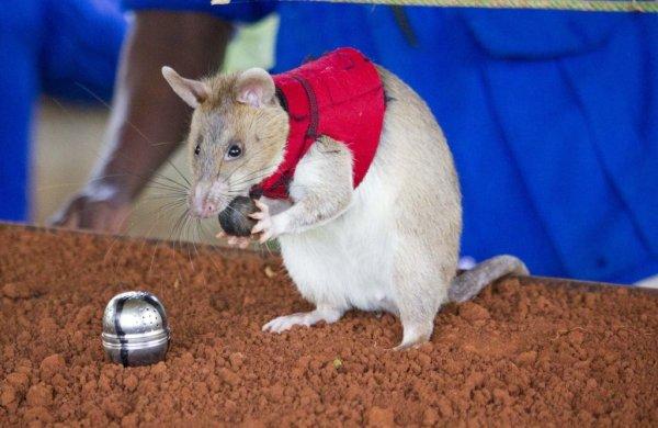 Hero Rats - HeroRAT alert