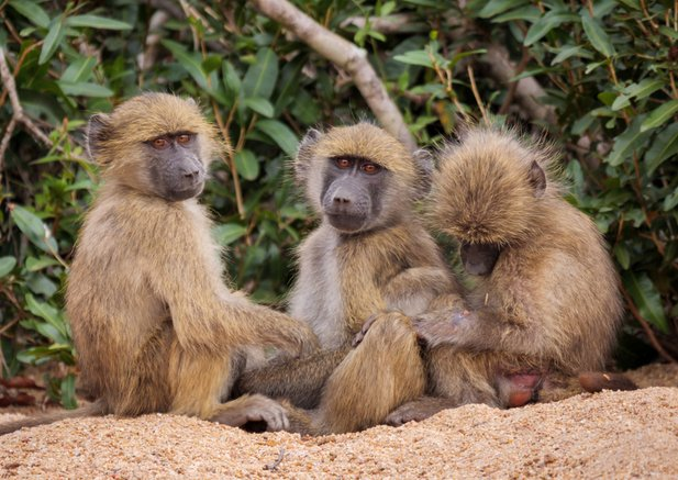 Increased transparency - Baboons